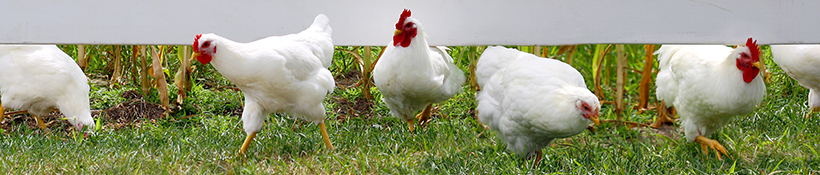 Chicken Farmer of Ontario Banner Image